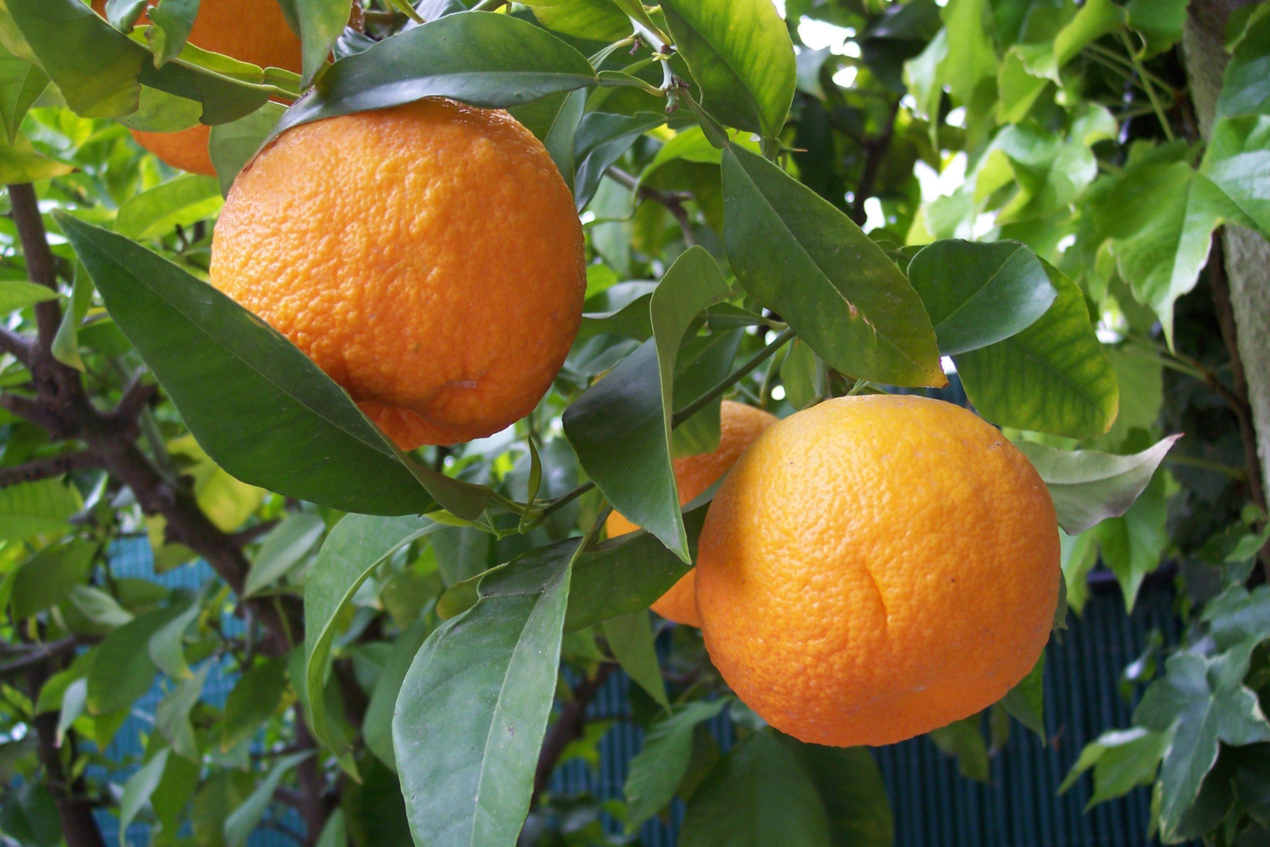 bitter-orange-meticore